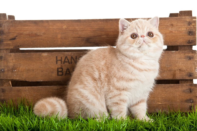 Exotic shorthair cat_Ewa Studio_shutterstock