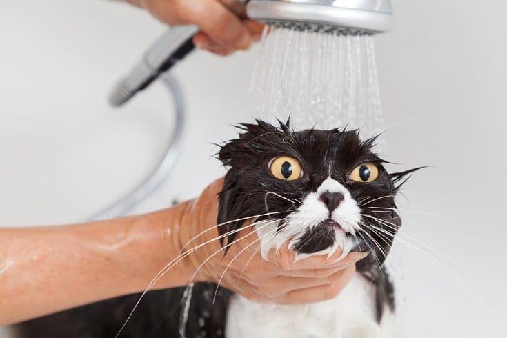 Persian cat bathing