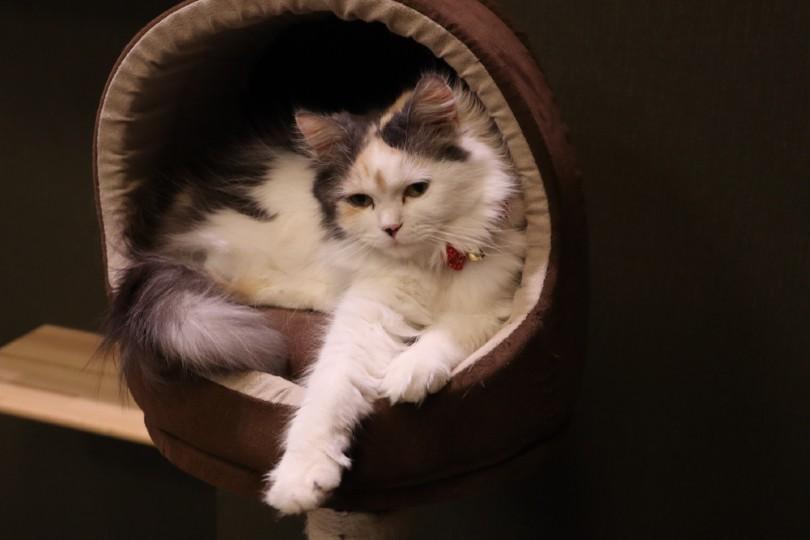 Ragamuffin cat hiding in bed