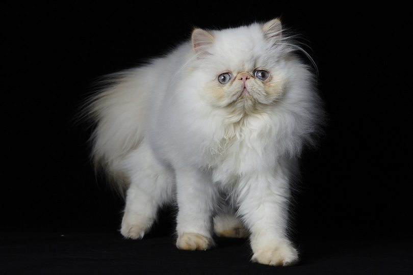 Red Point Himalayan persian cat_Zoo Design_shutterstock