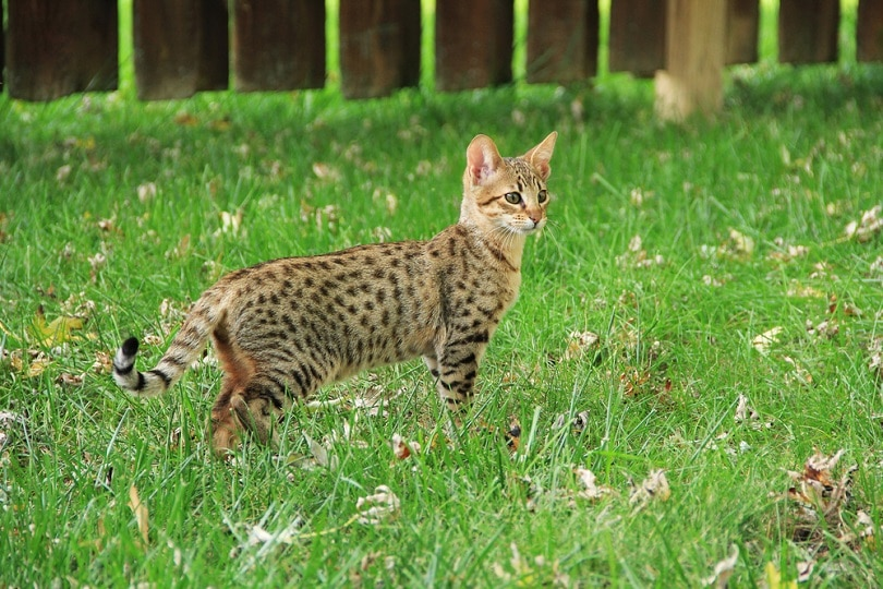 Savannah cat_Lindasj22_shutterstock