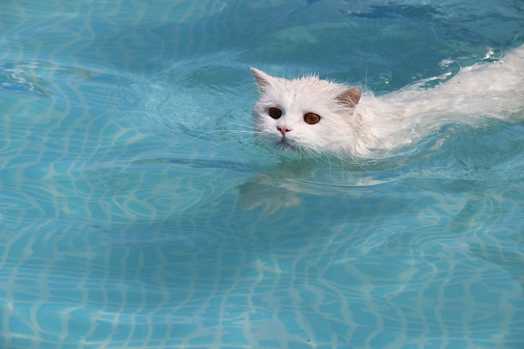 Scottish straight-eared long-haired cat swimming