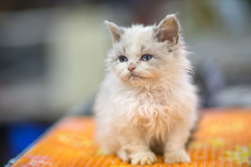 Selkirk Rex kitten_Jaroslaw Kurek_shutterstock