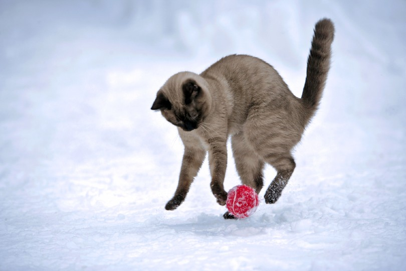 Siamese chocolate point playing with red ball in snow