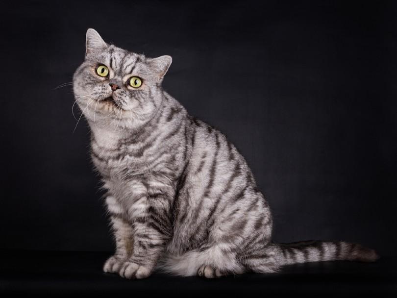 Silver Tabby British Shorthair TomCat