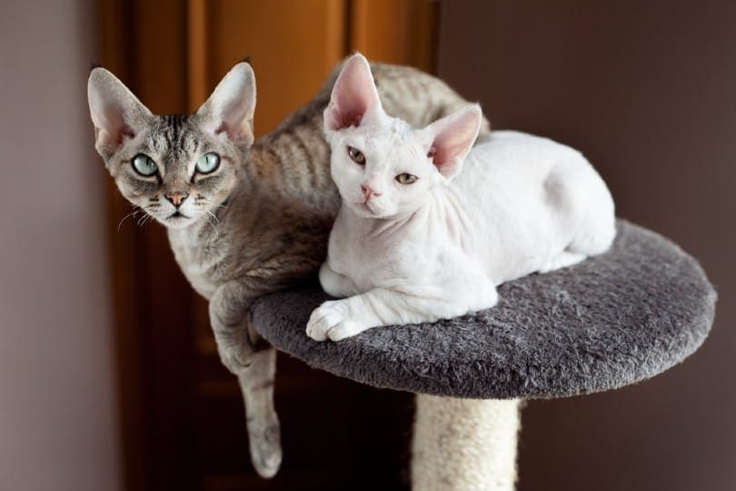 Two devon rex cats are sitting on the scratching post