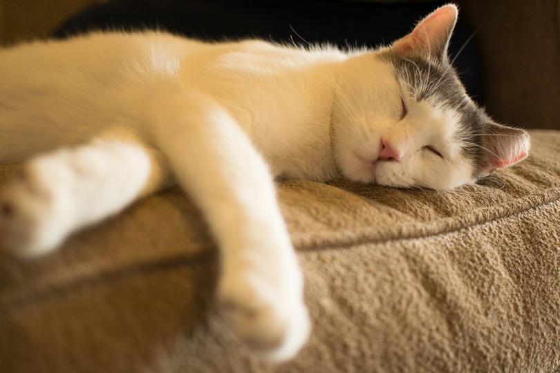 White Aegean Cat Napping_Mark St Cyr_shutterstock