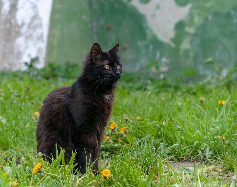 York chocolate cat backyard_Ciprian Gherghias_shutterstock