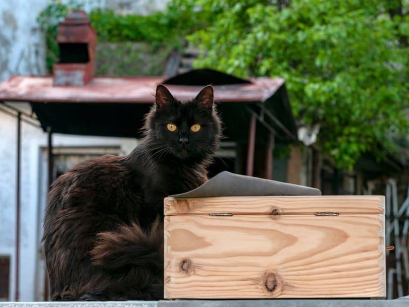 York chocolate cat on box_Ciprian Gherghias_shutterstock