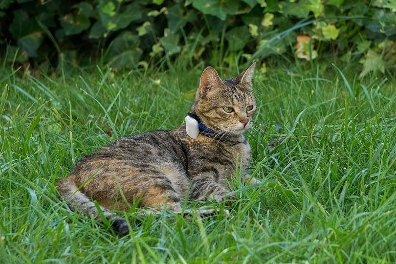 a mackerel tabby cat with gps tracker lying on the grass