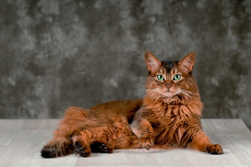 a portrait of ruddy somali cat