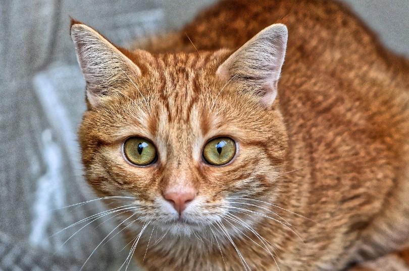 a red tabby cat looking at the camera