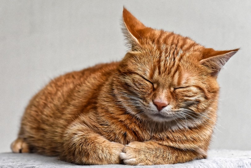 a red tabby cat
