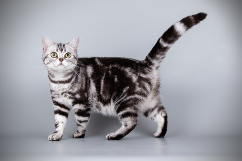 a silver tabby cat on gray background