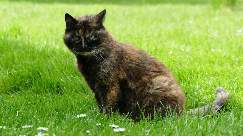 a tortoiseshell cat sitting on the grass