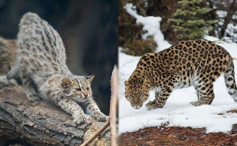 amur forest and amur leopard