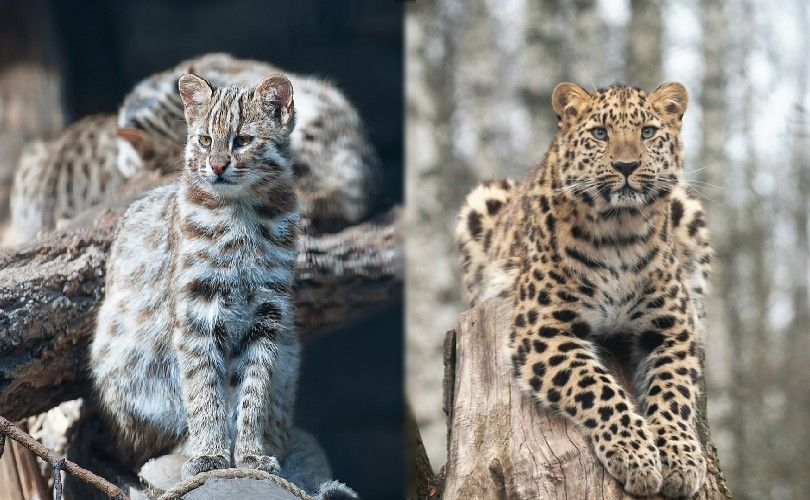 amur forest cat and amur leopard in the wild