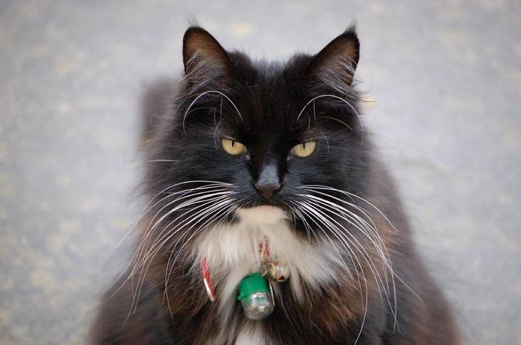 balck domestic longhair cat