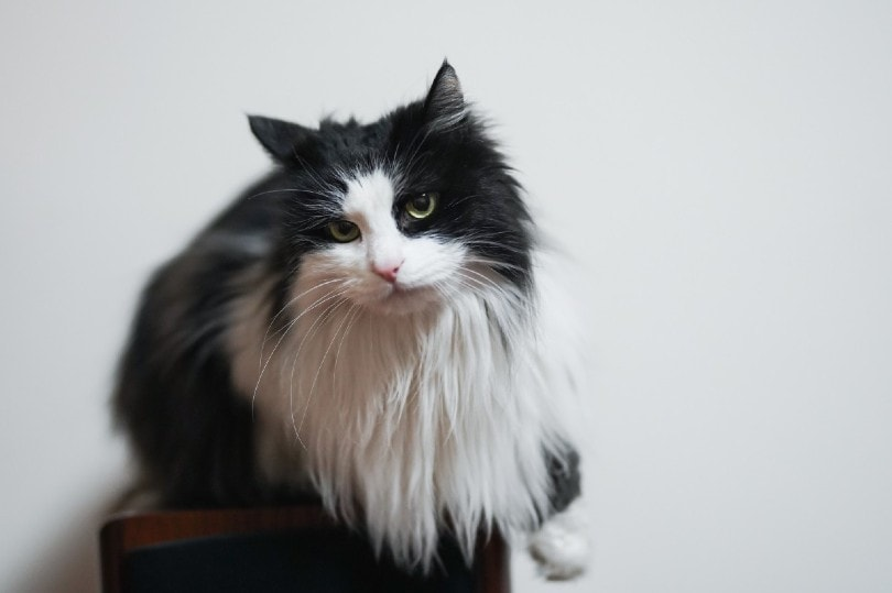 bi color cymric cat