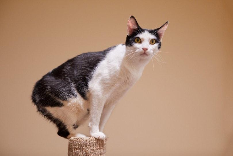 bi-color manx cat
