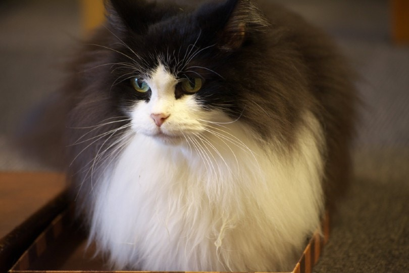 bi-color smoke manx cat