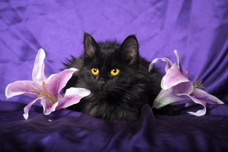 black manx cat