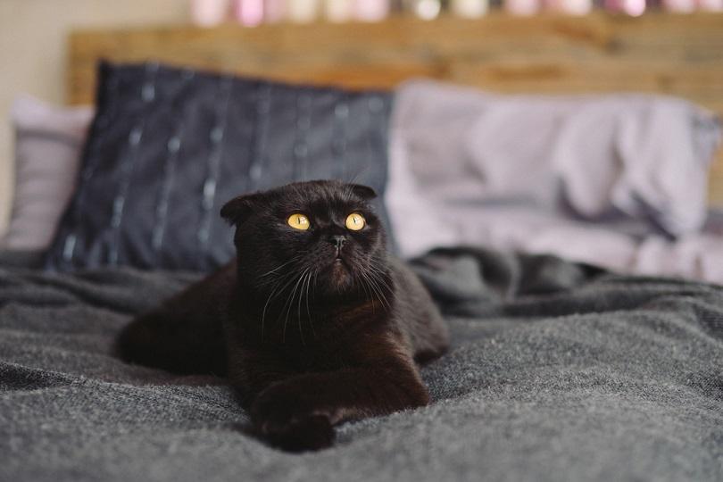 black yellow-eyed scottish fold cat_AnnaGorbenko_shutterstock