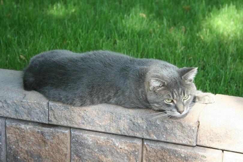 blue manx lying outdoors