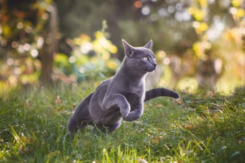 blue russian cat running in nature