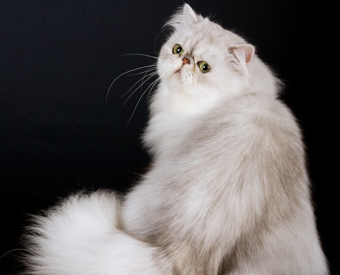 kucing persia silver shade biru
