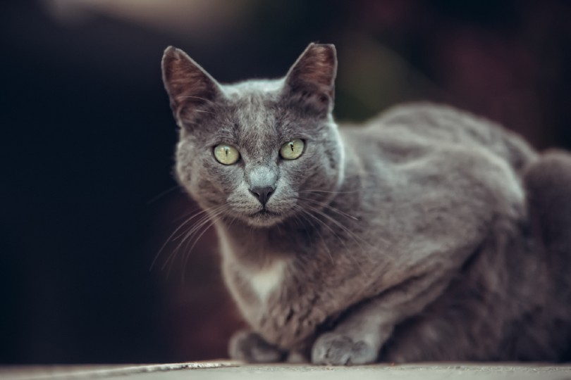 black smoke manx cat