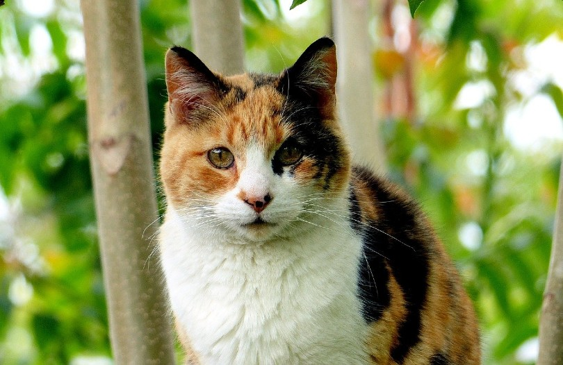 calico cat staring at the camera