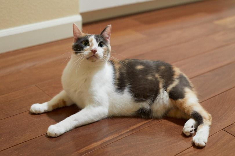 calico manx cat