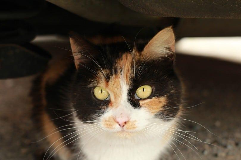 calico ragamuffin cat