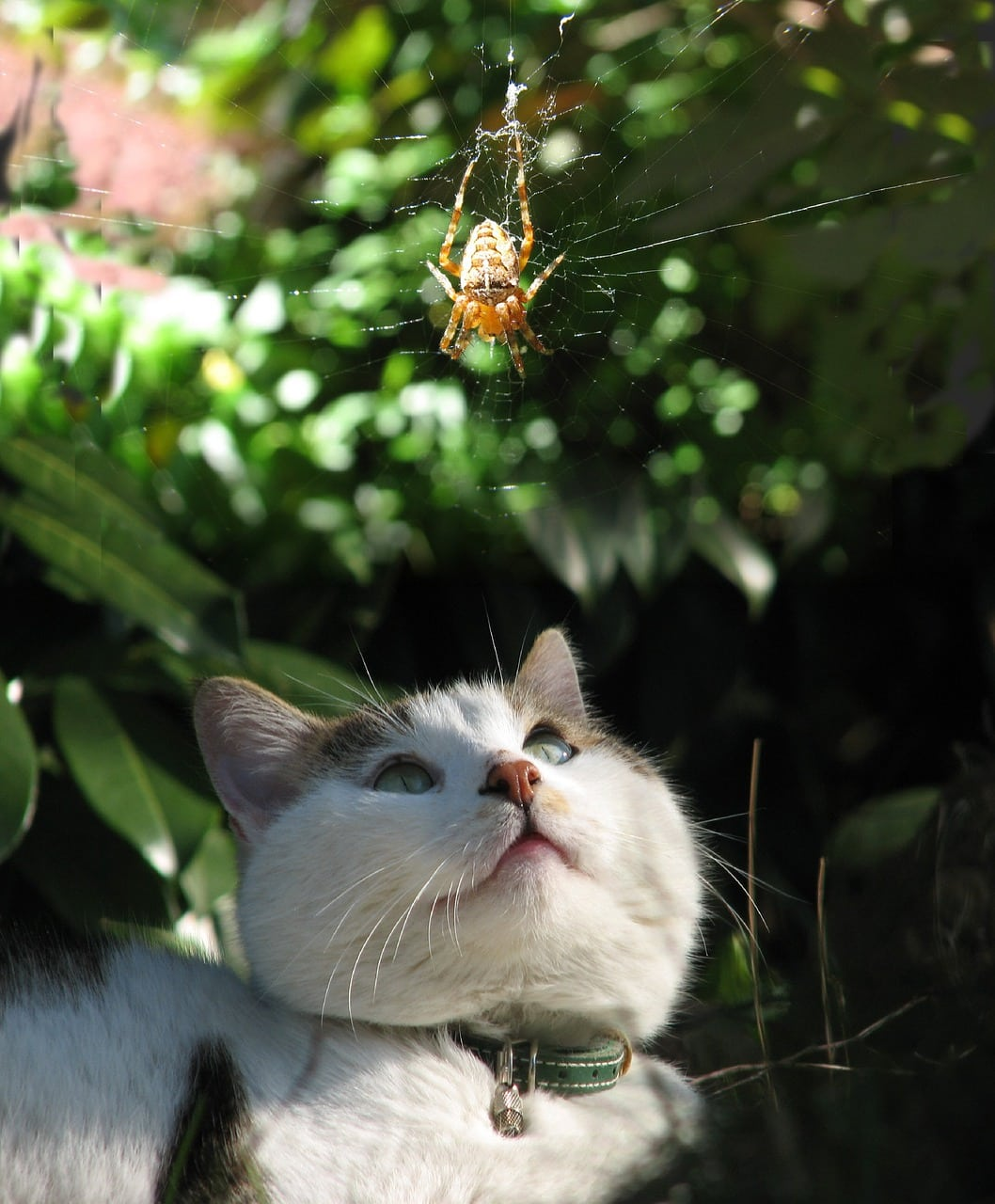 cat looking at a spider