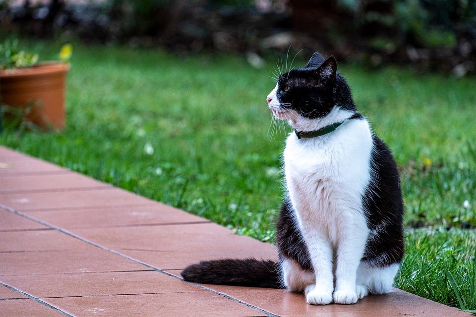 cat with collar_Pixabay