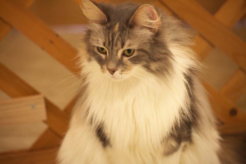 chinchilla silver manx cat