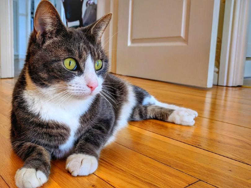classic tabby manx cat