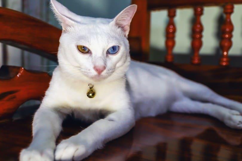 closeup of khao manee cat
