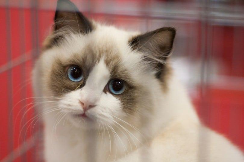 colorpoint ragamuffin cat
