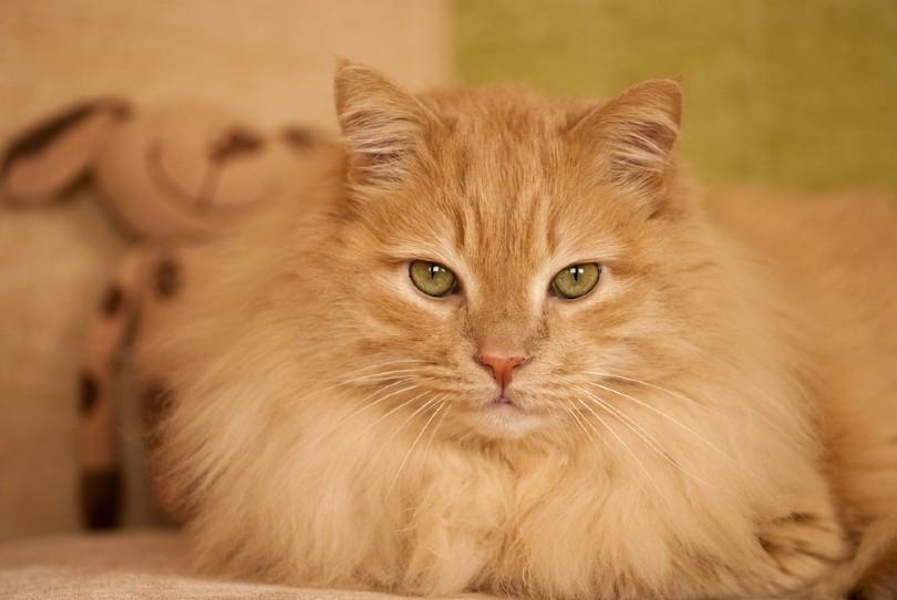cream norwegian forest cat