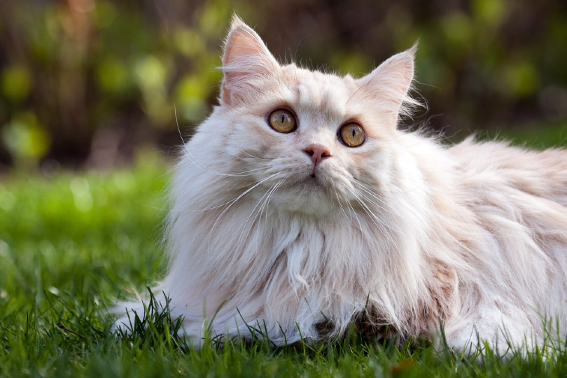 cream tabby manx cat