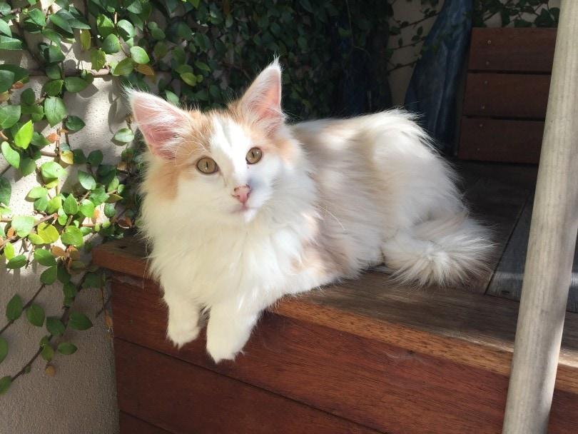 cream white Norwegian Forest Cat