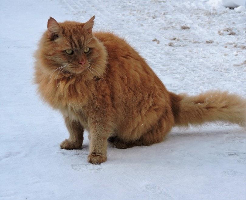 cymric cat in snow