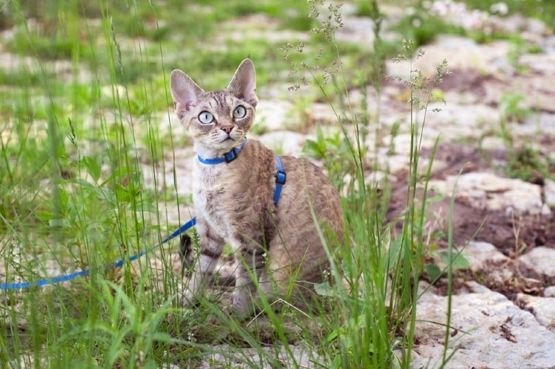 devon rex cat is walking in the garden