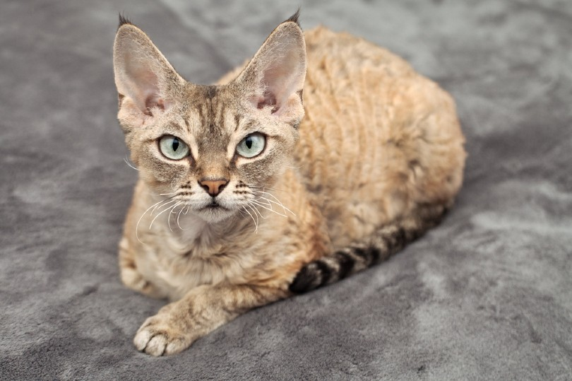 devon rex tabby cat is laying on a soft blanket