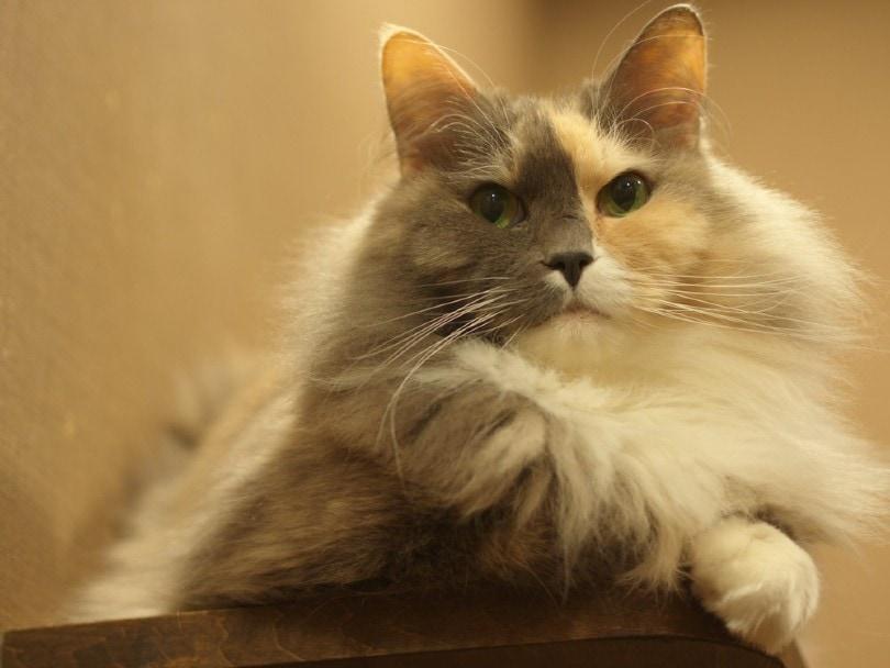 dilute calico manx cat