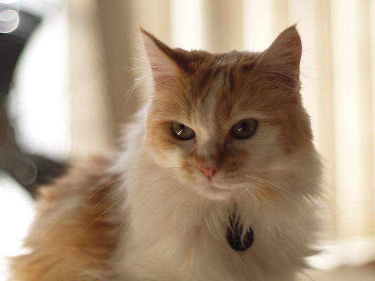 domestic_longhair cat