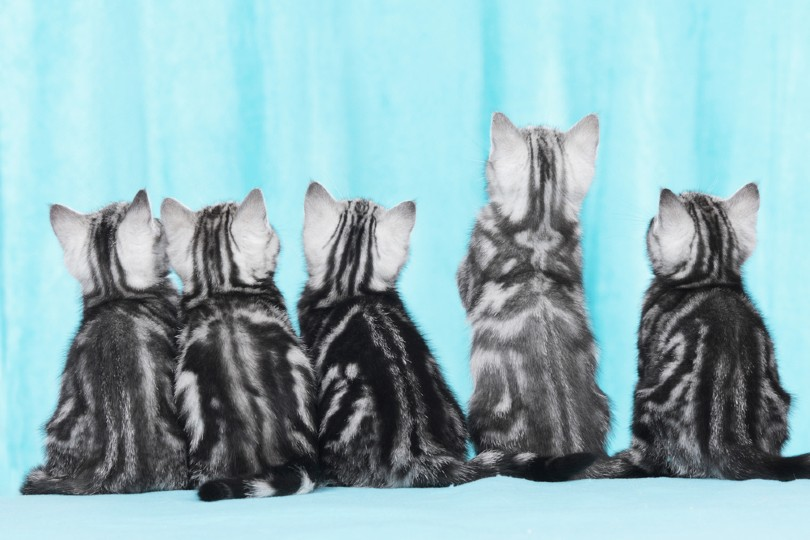 five silver tabby kittens from behind