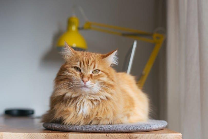 grumpy red tabby cat sitting on a mat